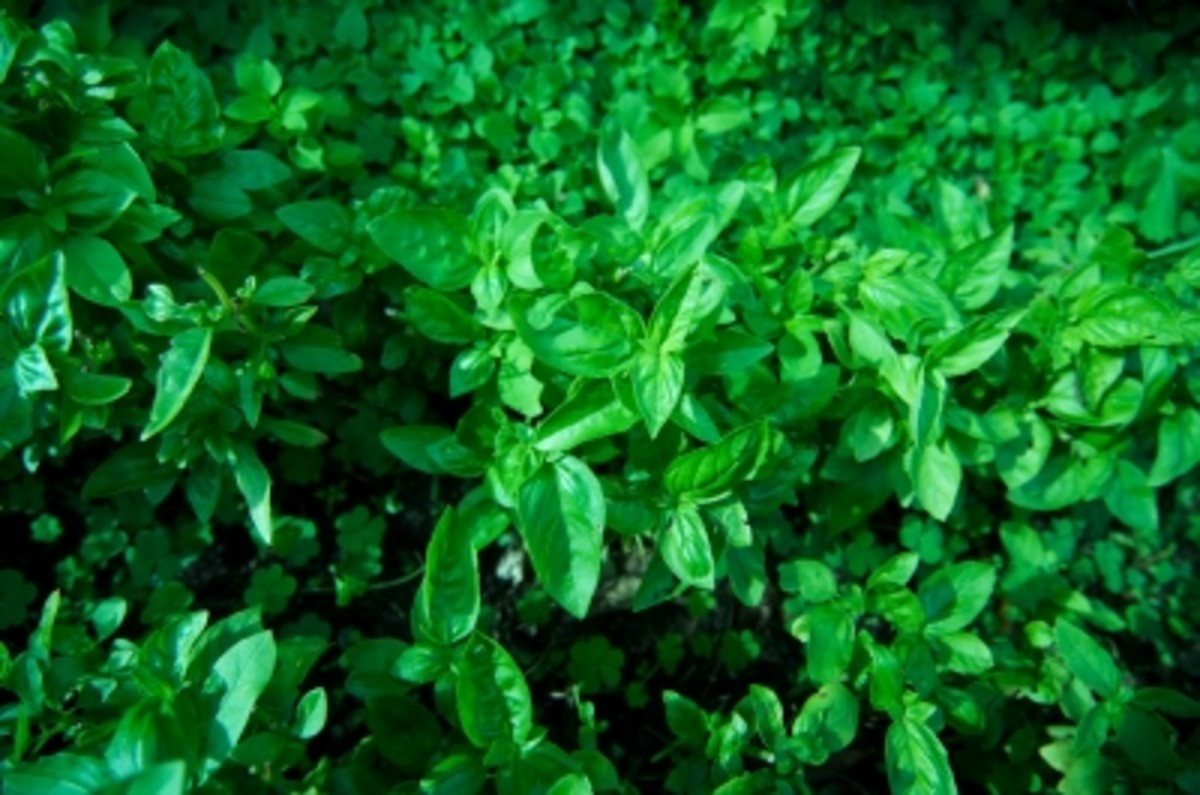 The Holy Basil Plant-The Health Benefits Of Tulsi Leaves, Seeds, Juice And Oil