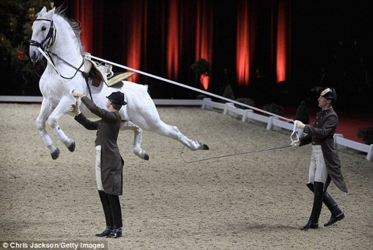A white Lipizanner stallion performs a 'goat's leap' during a show in London