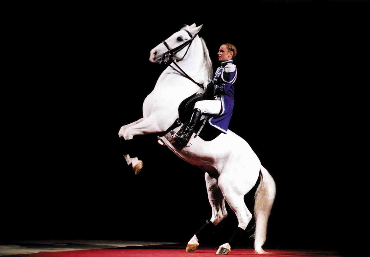 A prestigious Lipizzan horse performs the very difficult levade