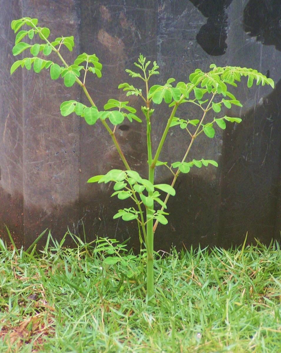 moringa-the-miracle-tree