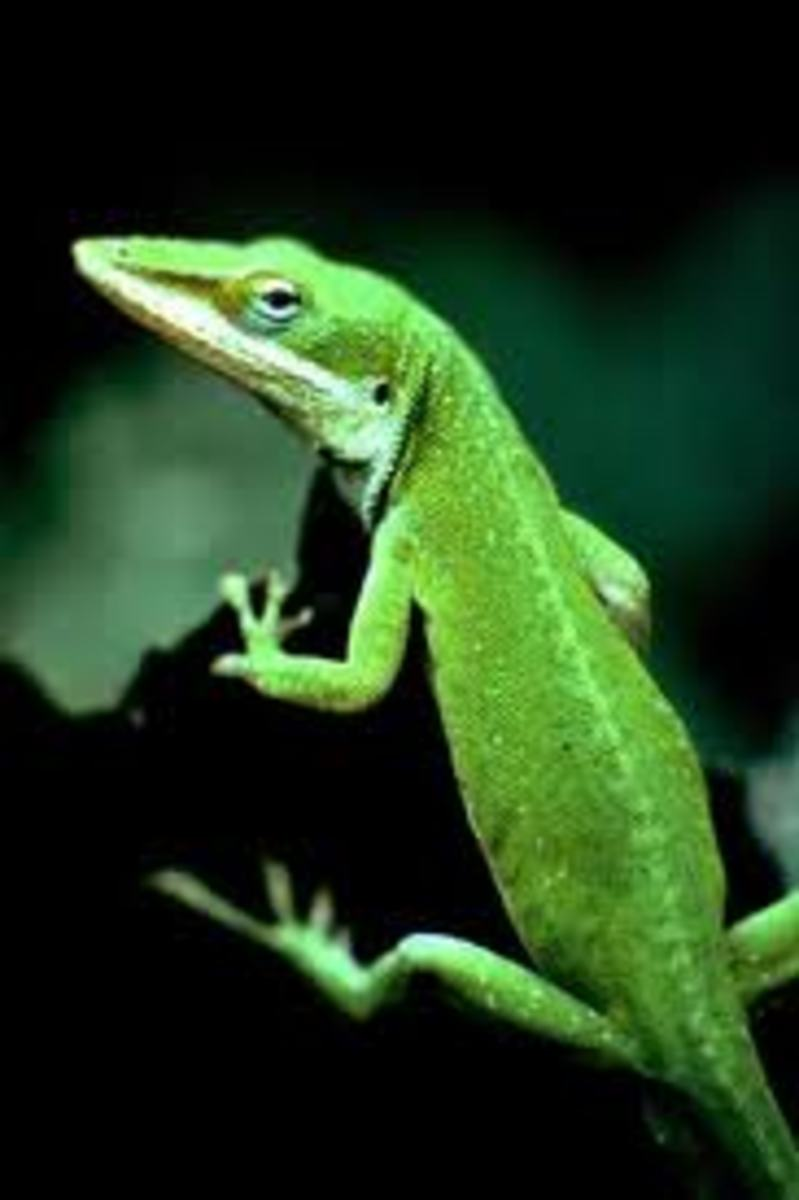 Green Anole Lizards