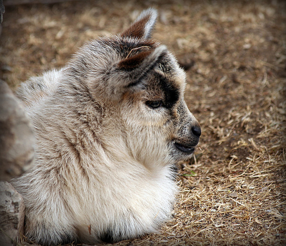 6 Best Dairy Goat Breeds for the Homestead