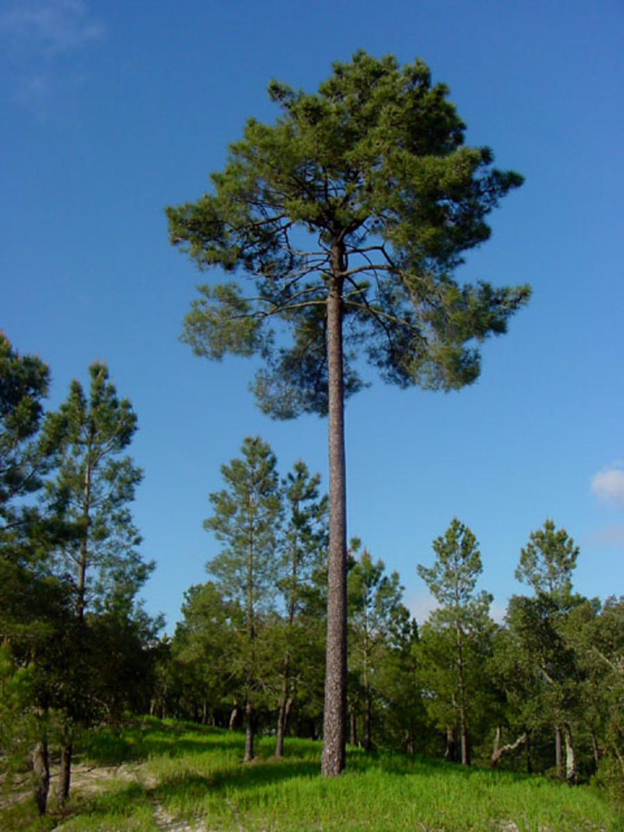 Maritime pine, Pinus pinaster, the main source of resin in Portugal and Western Europe.