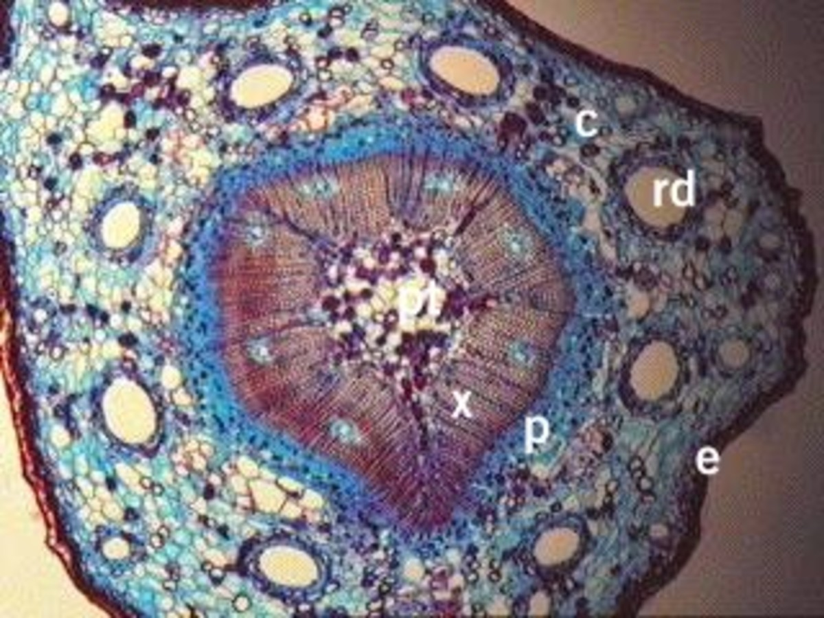 Cross section of a young pine stem. The round white holes labelled RD are the resin ducts.