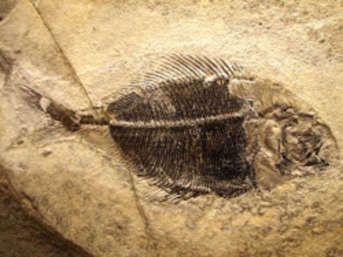 Fossil fish from the collection of the Fur Museum,
