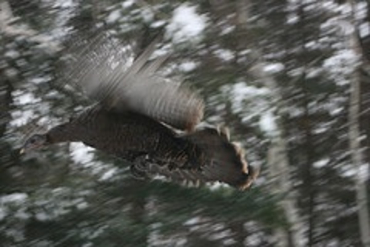 Yes, turkeys can fly!