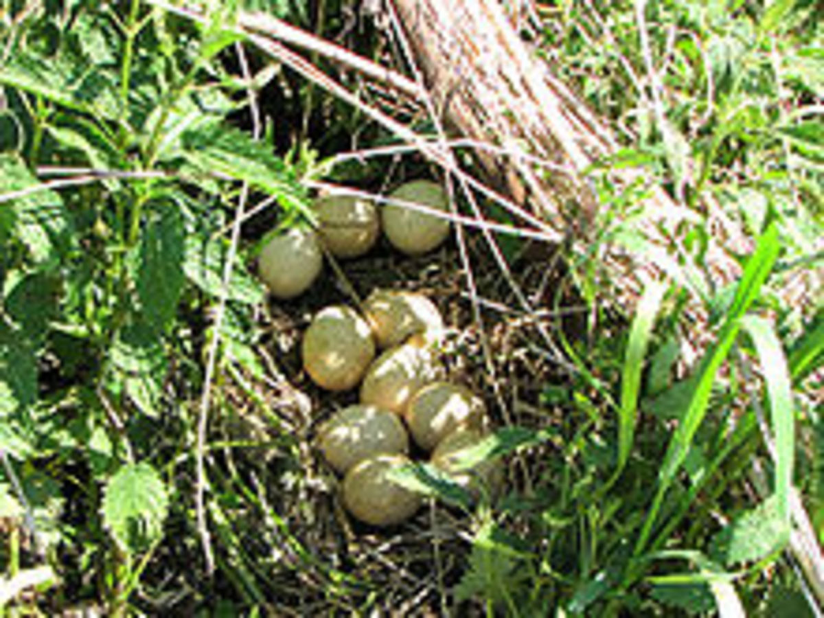 Turkey nest and eggs.