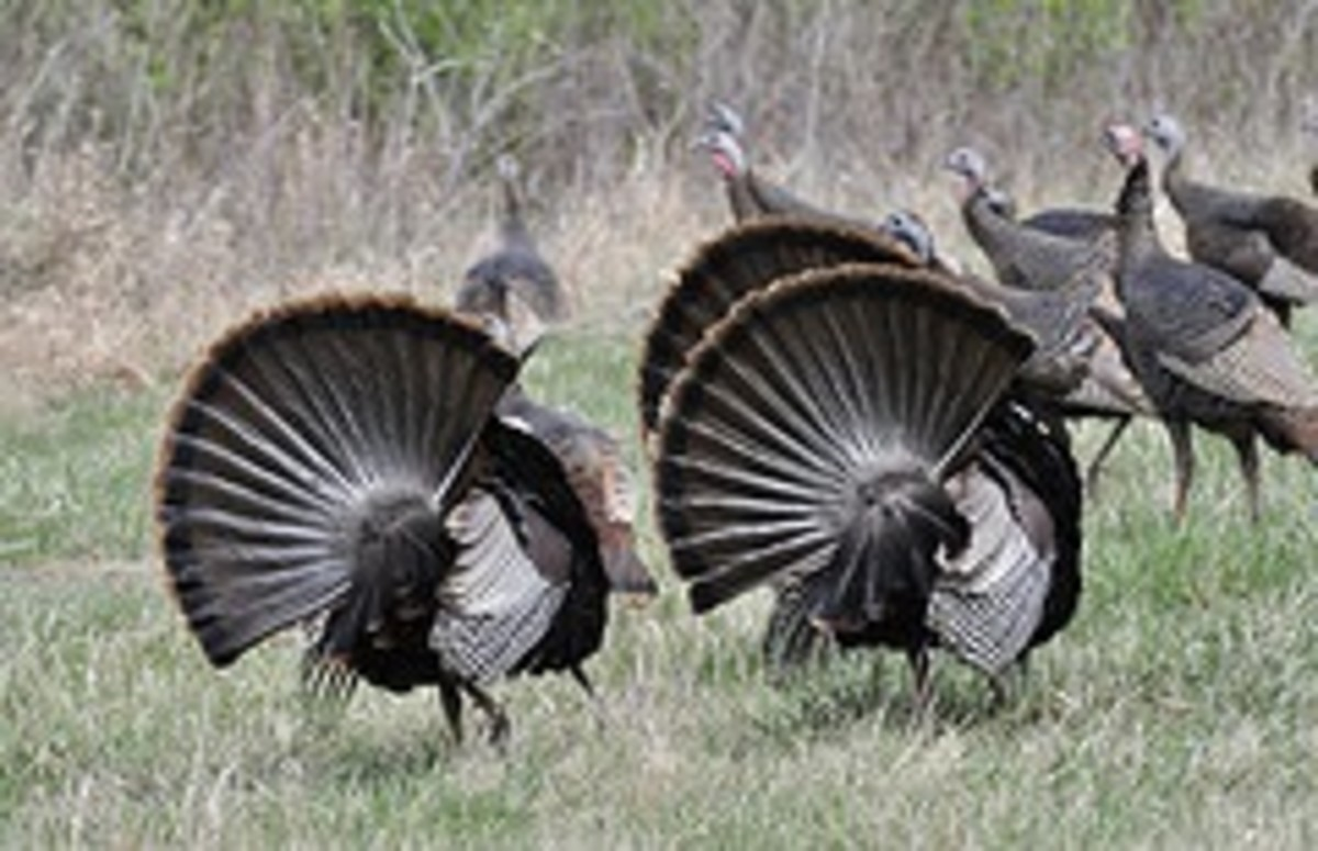 Turkeys look much plumper in the autumn.