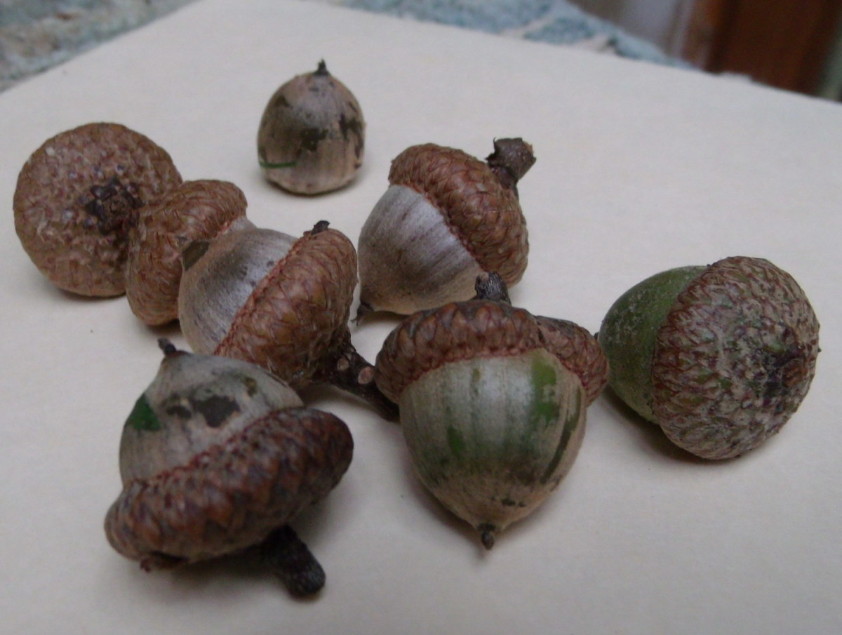 Some of the acorns I've gathered for the turkeys to eat this winter.