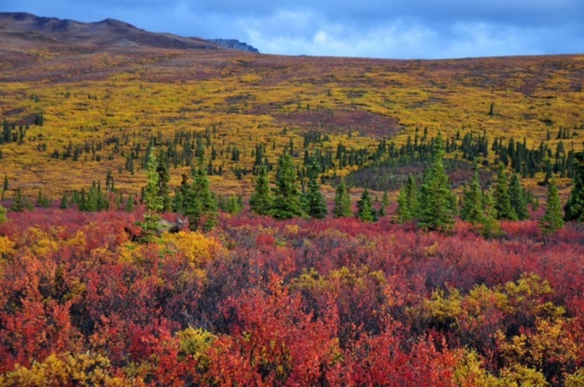 Fall colors of the tundra at Denali National Park by Janet Tangney