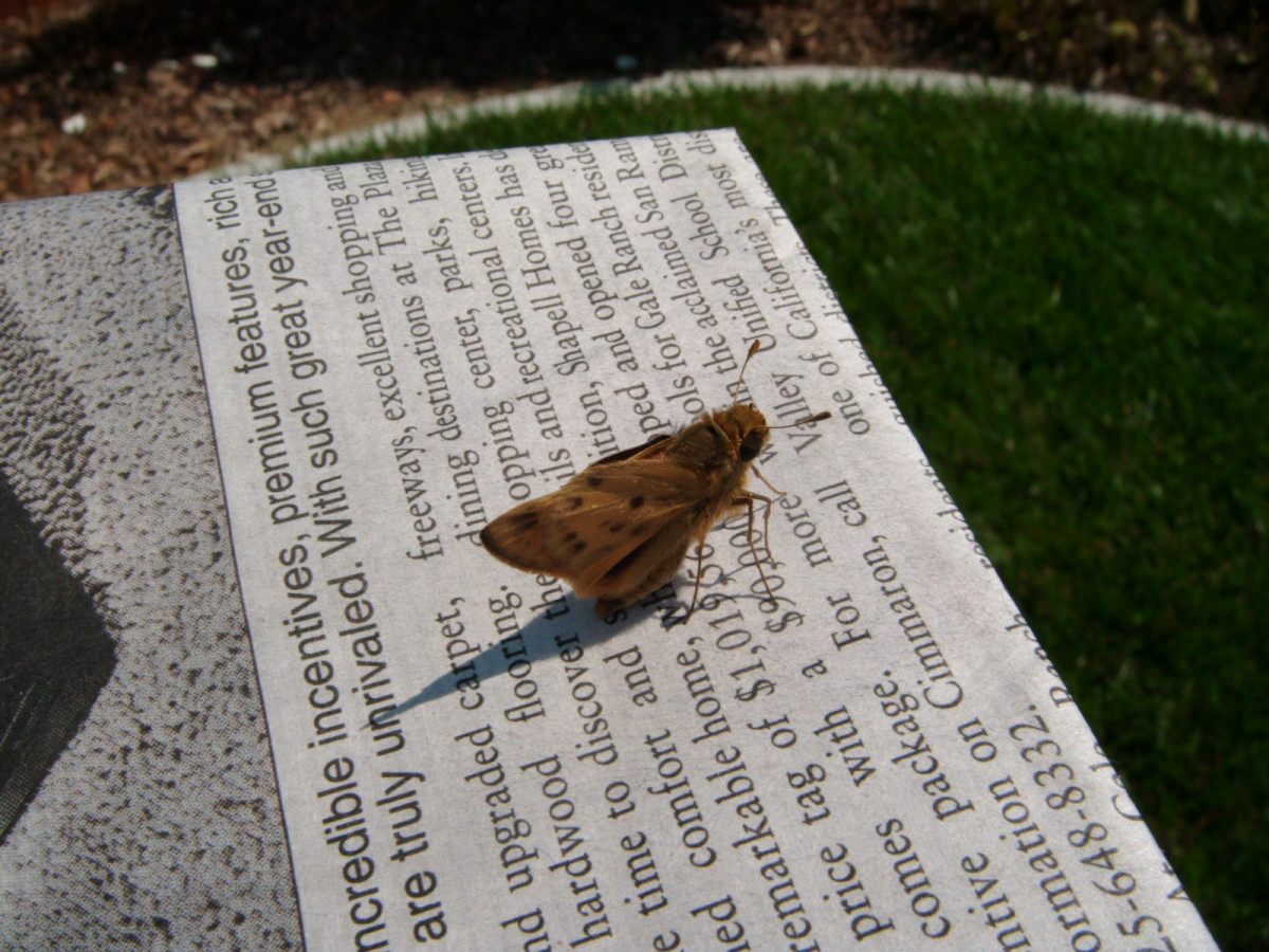 Emergency Insect Rescue:  Helping a Skipper Butterfly to Safety