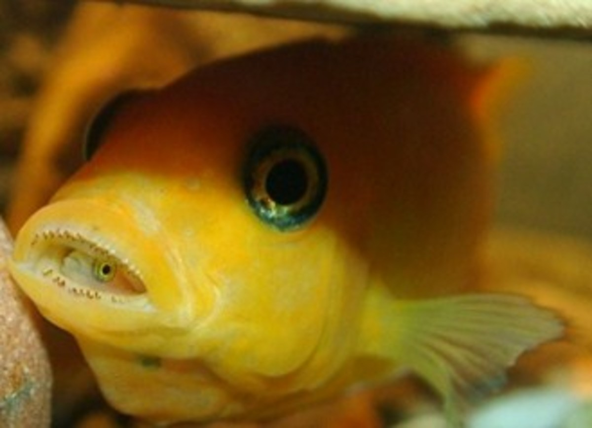 Lake Malawi Cichlids 7, How to Breed Fish, And Reproduction of Species | HubPages