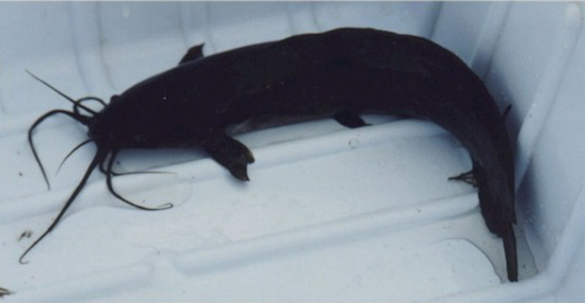 Walking Catfish (Clarias batrachus)
