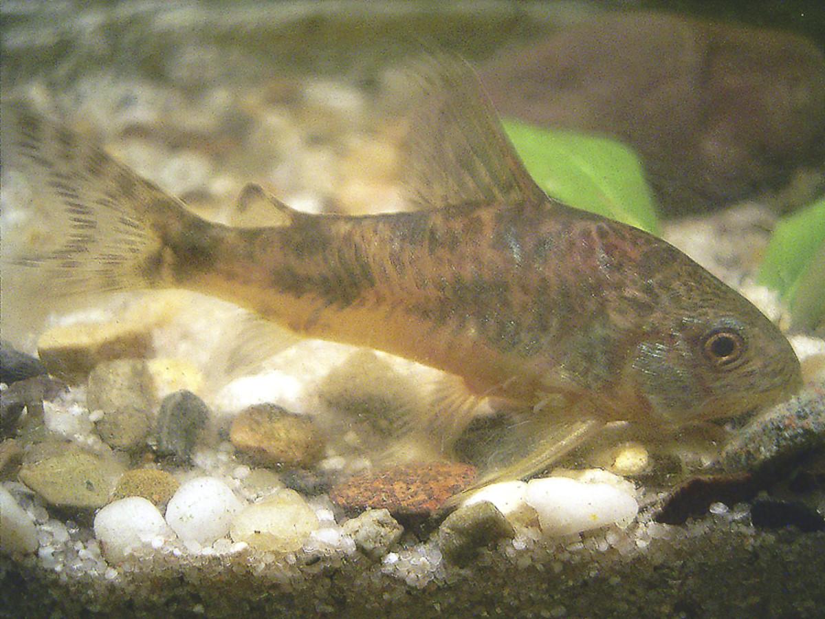 Peppered catfish (Corydoras paleatus)