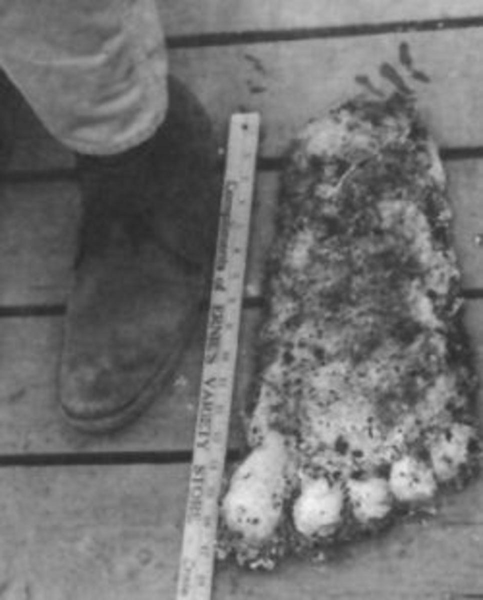 Comparing a mans foot to a Bigfoot footprint cast