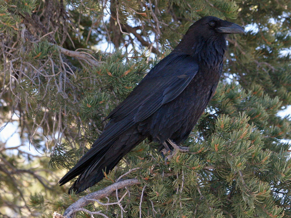 Raven And Crow Symbolism And Meaning Hubpages