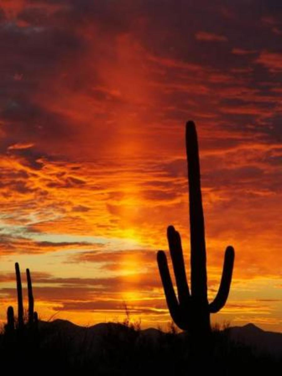 Saguaro cacti are most known cacti in Arizona