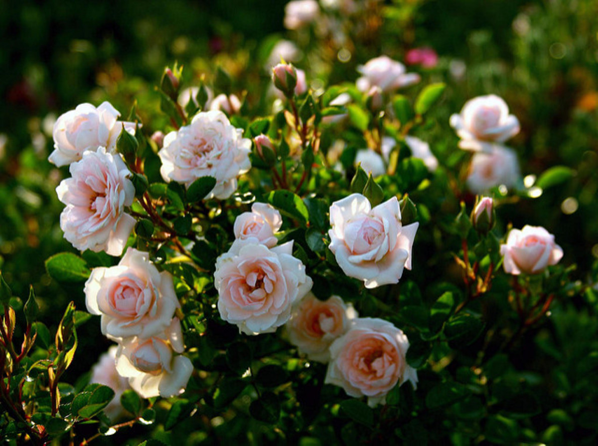 White rose bush