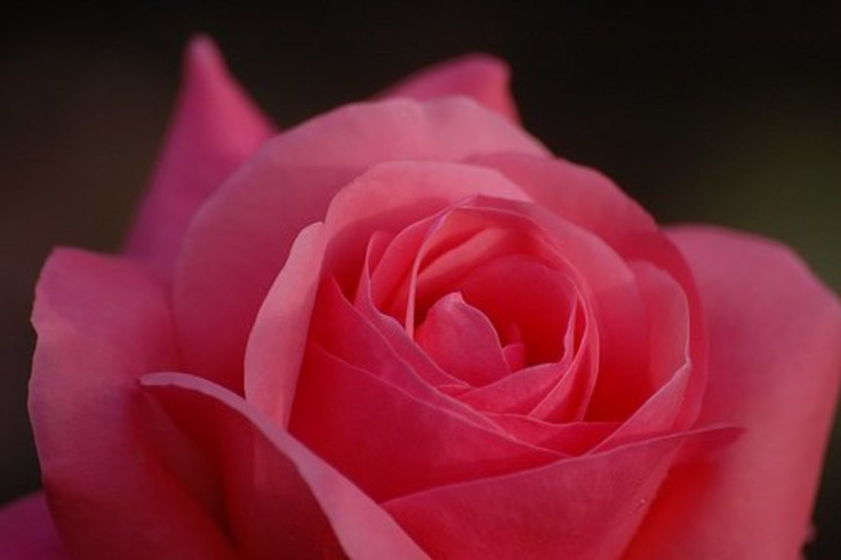 The rose flower; pictures, structure, bush, symbolism, uses and tattoos