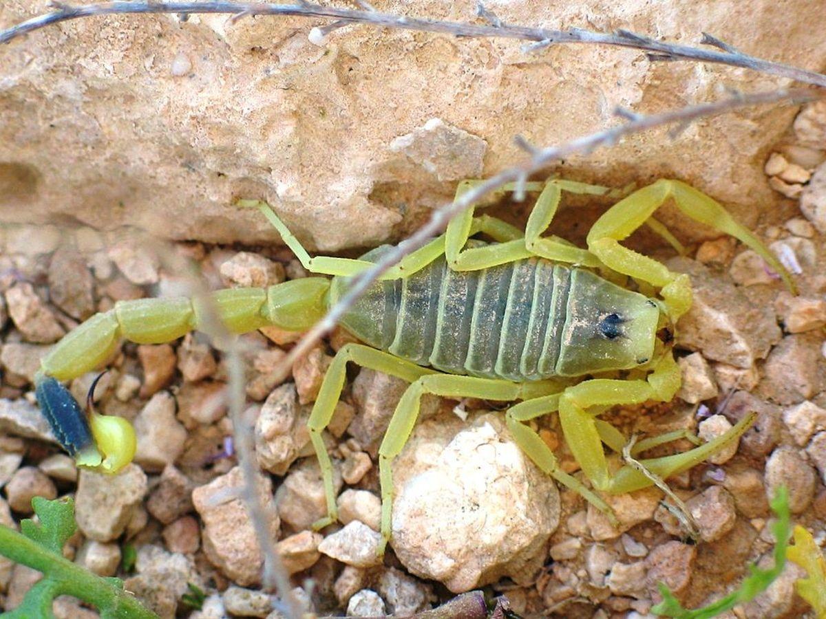 World's deadliest Scorpion  – the death stalker scorpion. Image Credit: Ester Inbar via Wikipedia Commons