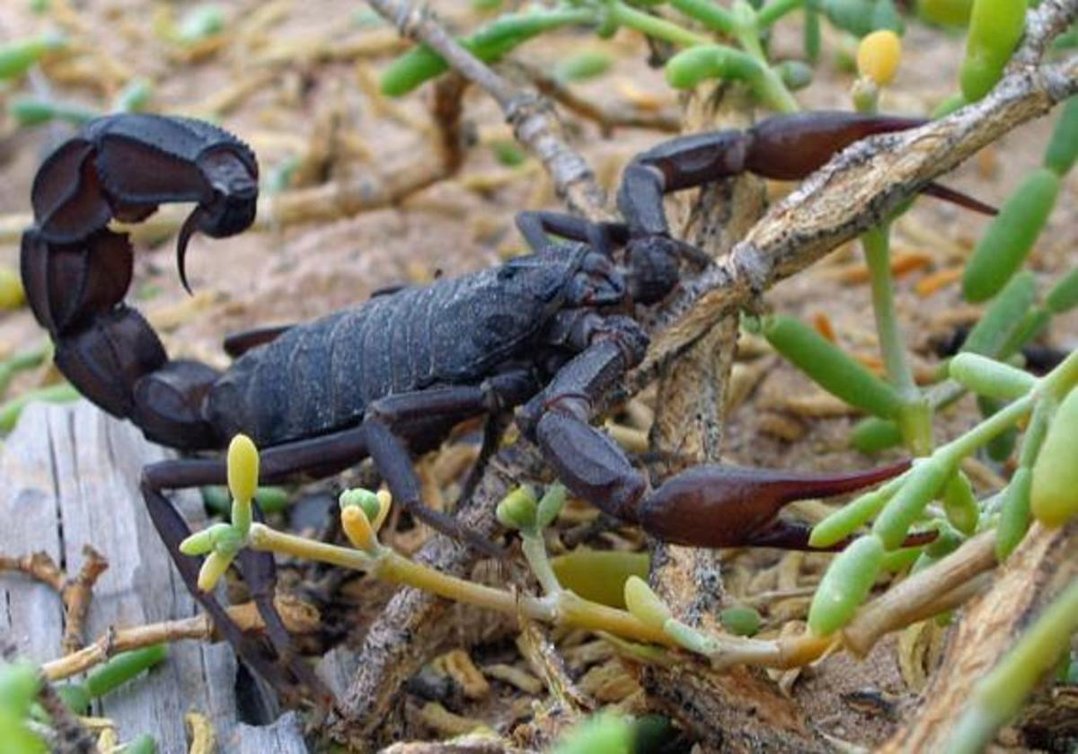 World's deadliest Scorpion – Fat tailed Scorpion. Image Credit:Per-Anders Olsso via Wikimedia Commons
