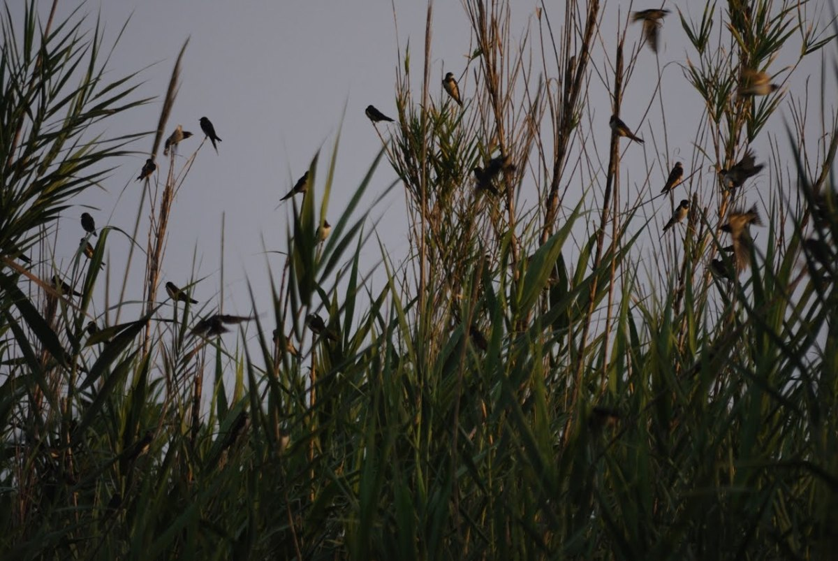 Swallows taking the opportunity to rest after finally reaching South Africa.