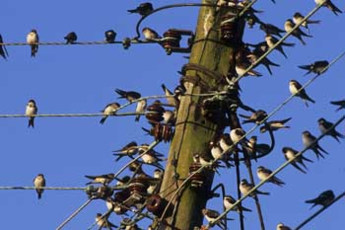 Swallows congregating on telephone wire in the early stages of their journey.