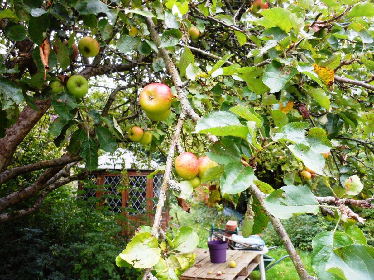Delicious homegrown bramley apples