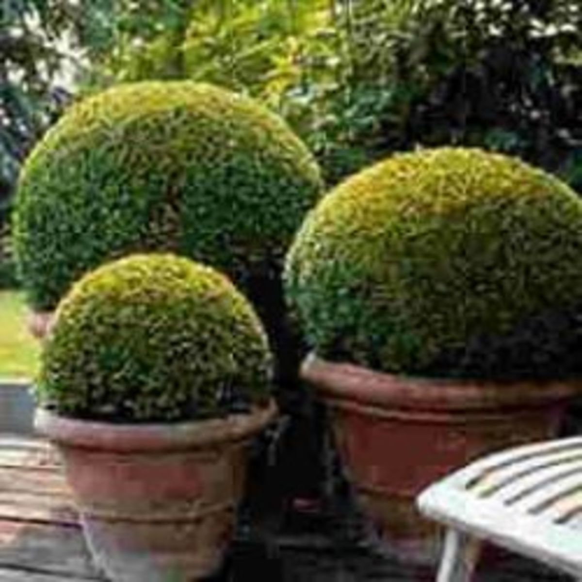 How To Grow Boxwood