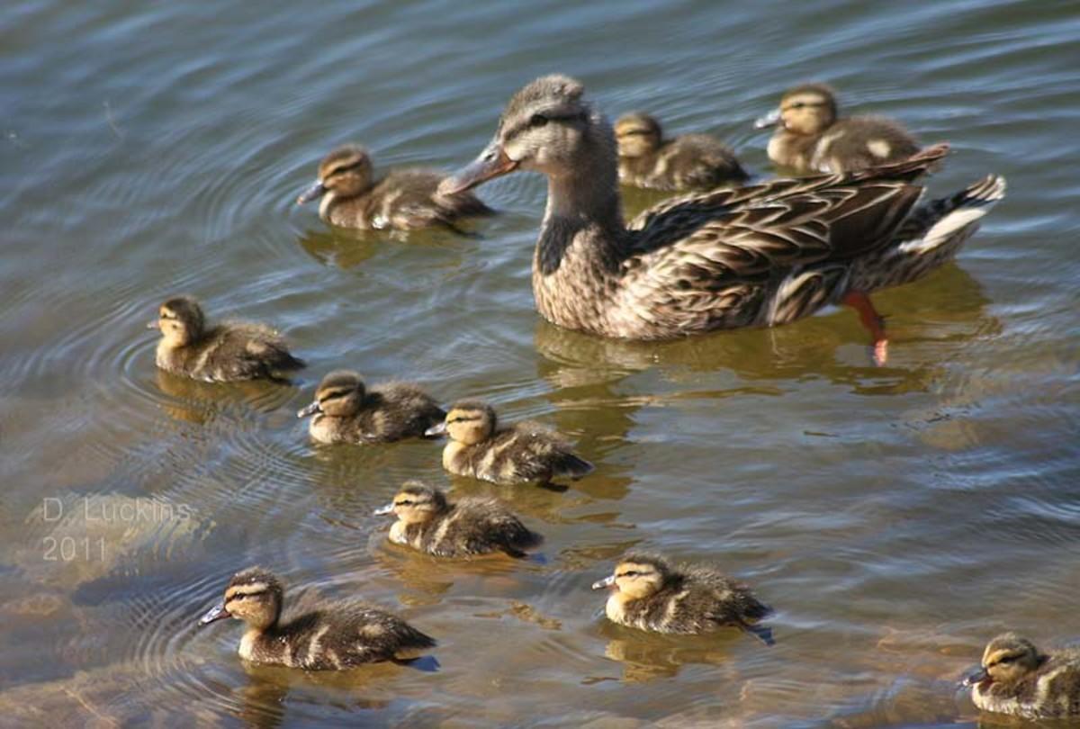 Wild baby ducks!