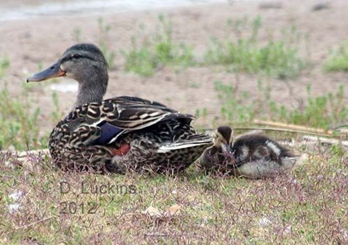 Mom and one duckling.