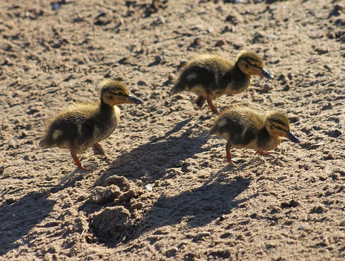 OK, these weren't hatched in 2016, but they are the first ducklings after the last breeding season ended. These ducklings were actually hatched around Christmas, 2015. Unfortunately, they were all eaten by gulls before they were 10 days old.
