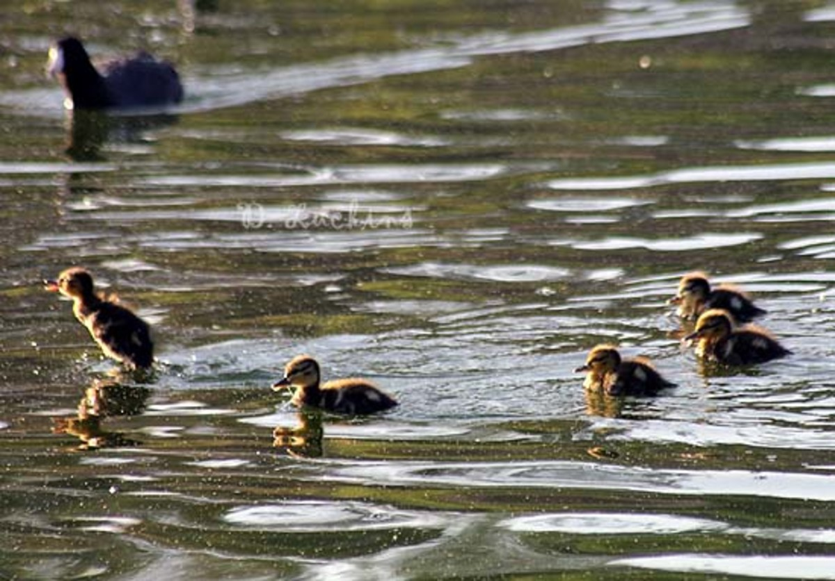 Jumping duckling!  Mallard ducklings on their first day out.