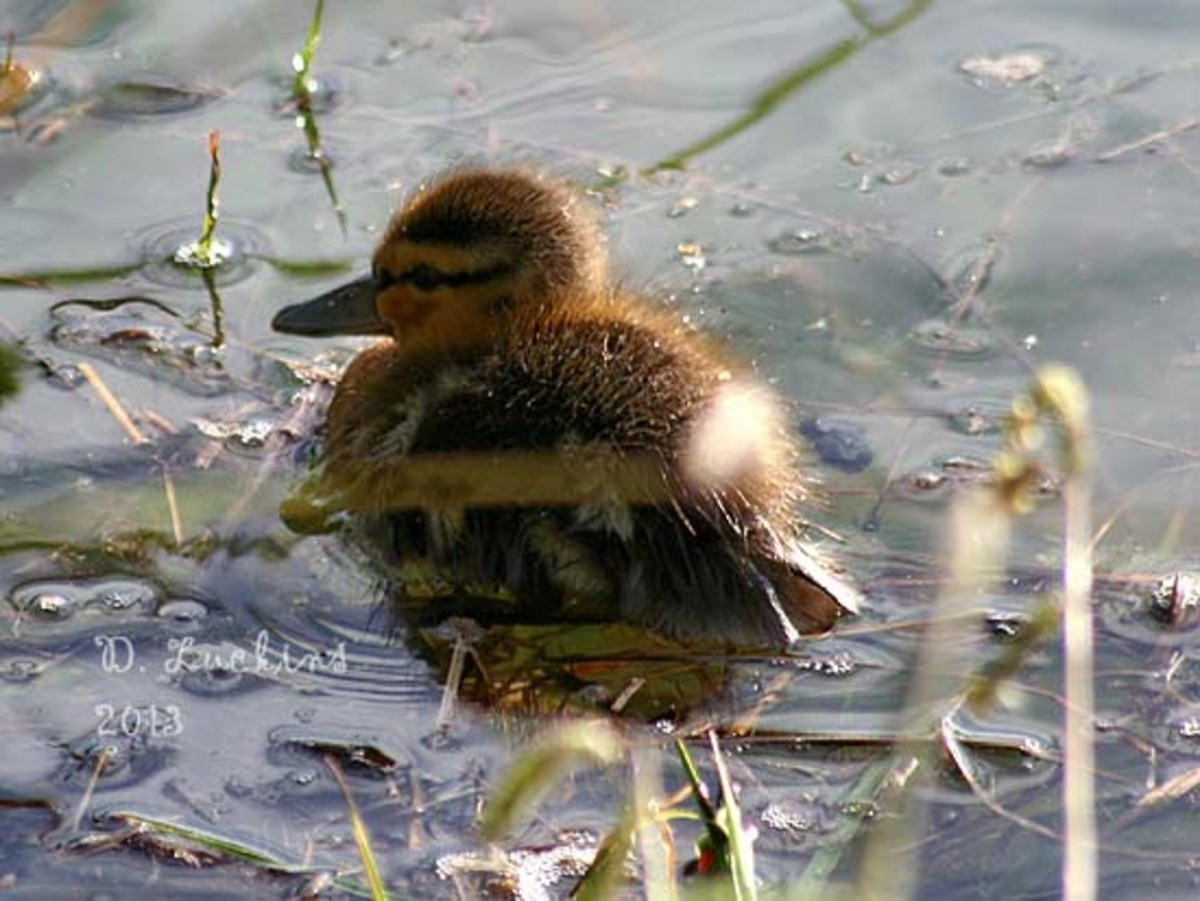 A cute duckling looking back at me.