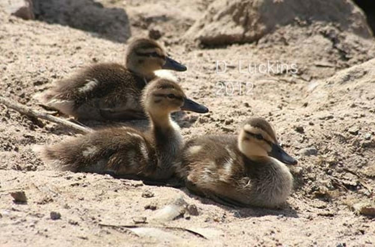Awww, three mallard ducklings