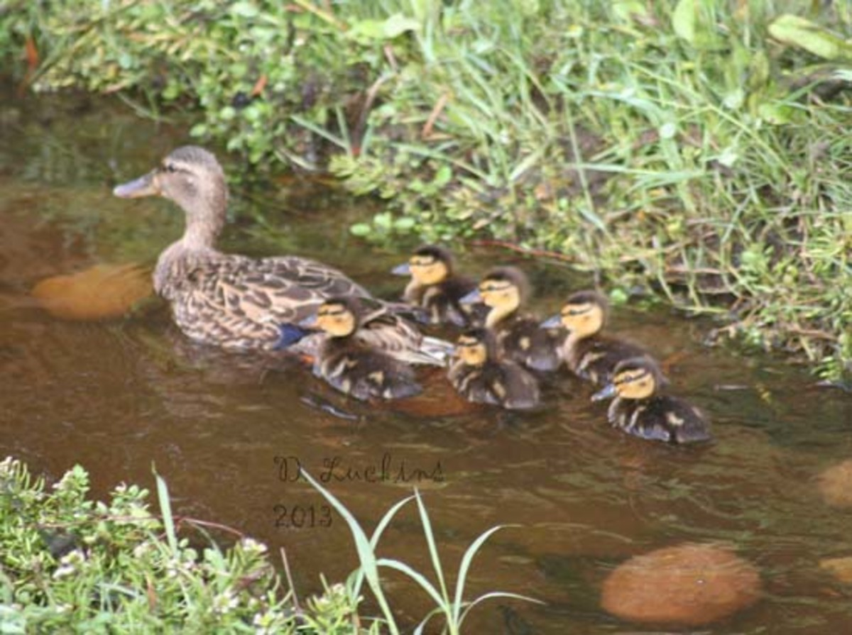 Mom with six ducklings.