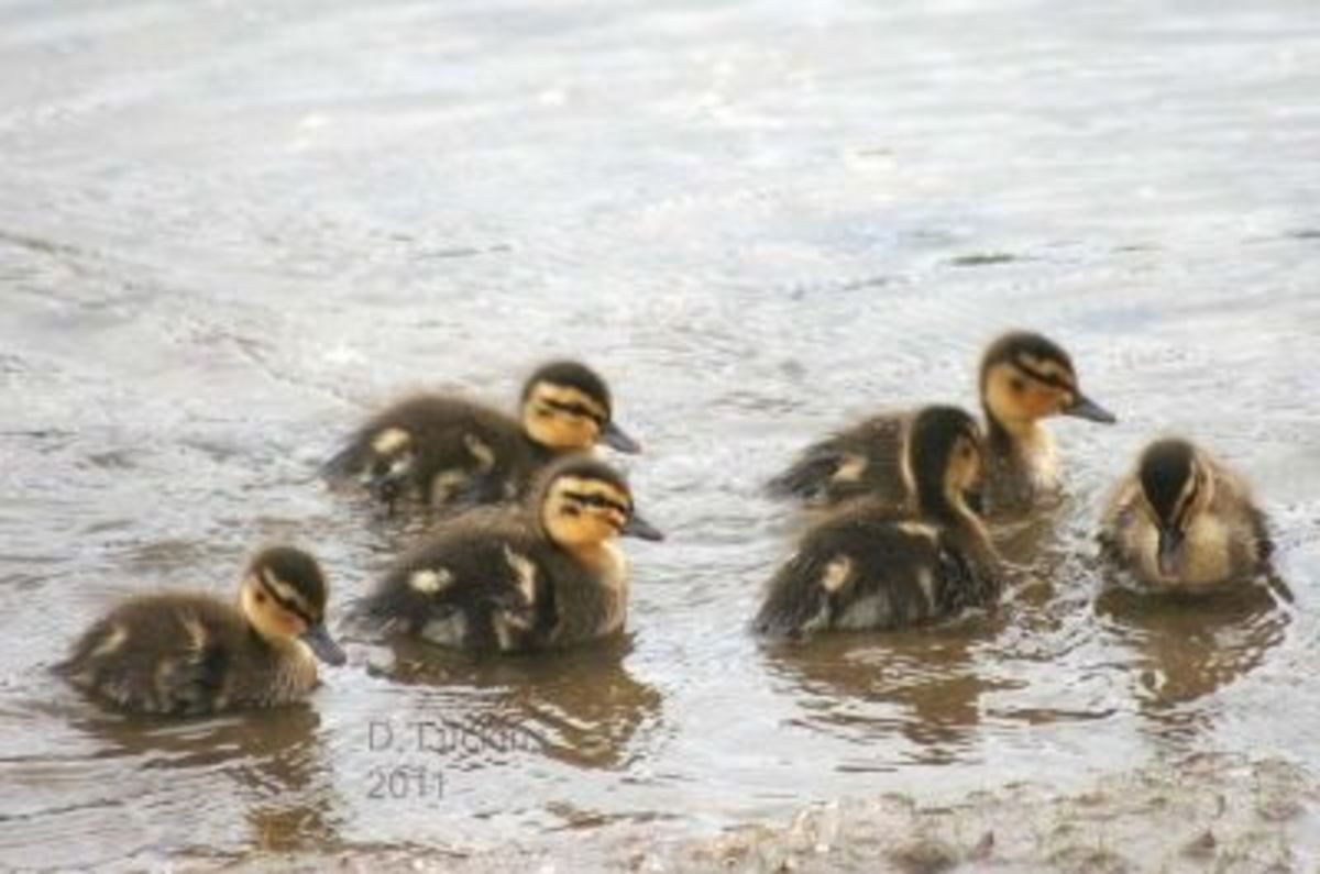 Friendly ducklings!