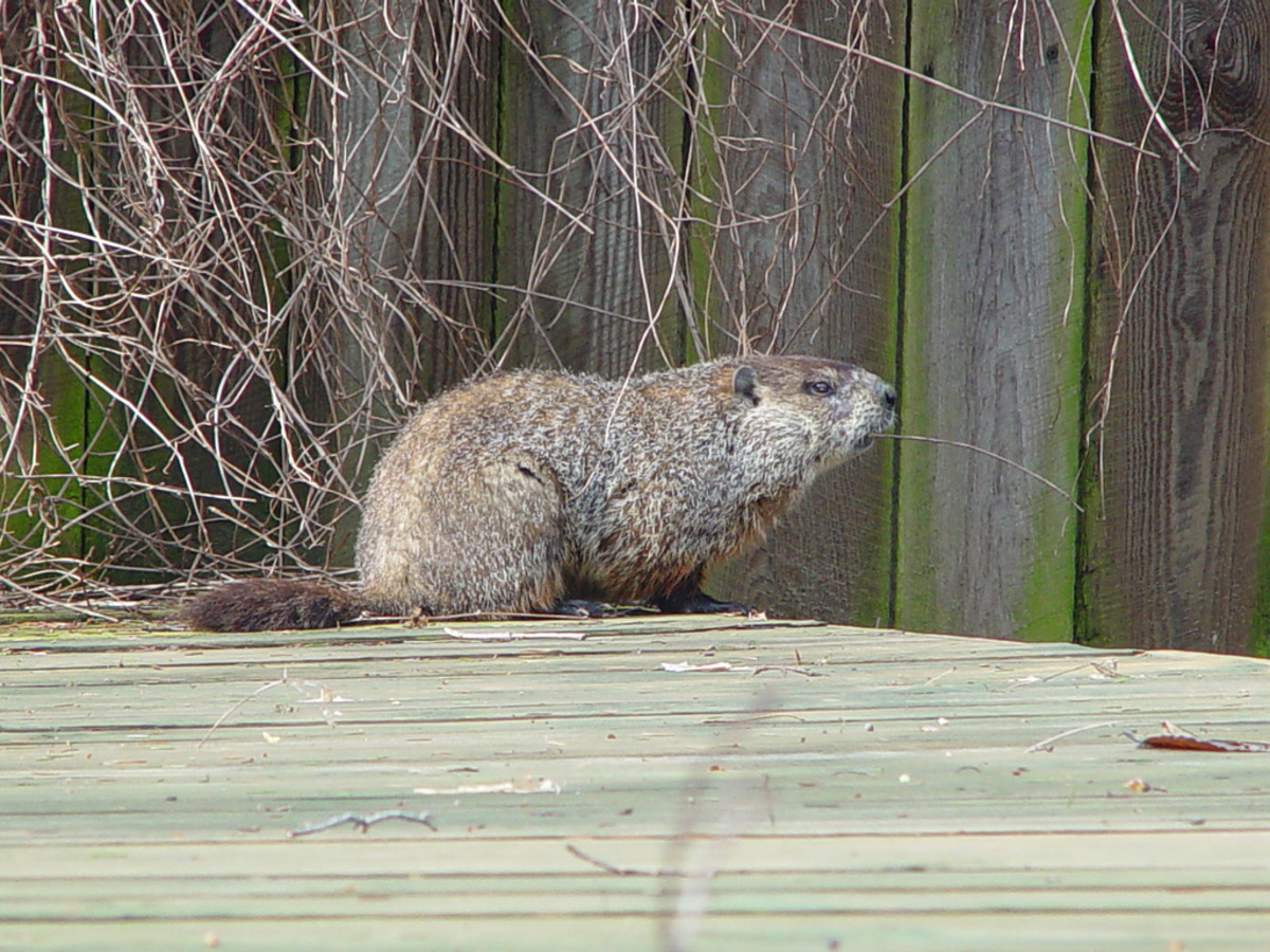 Side View of a groundhog