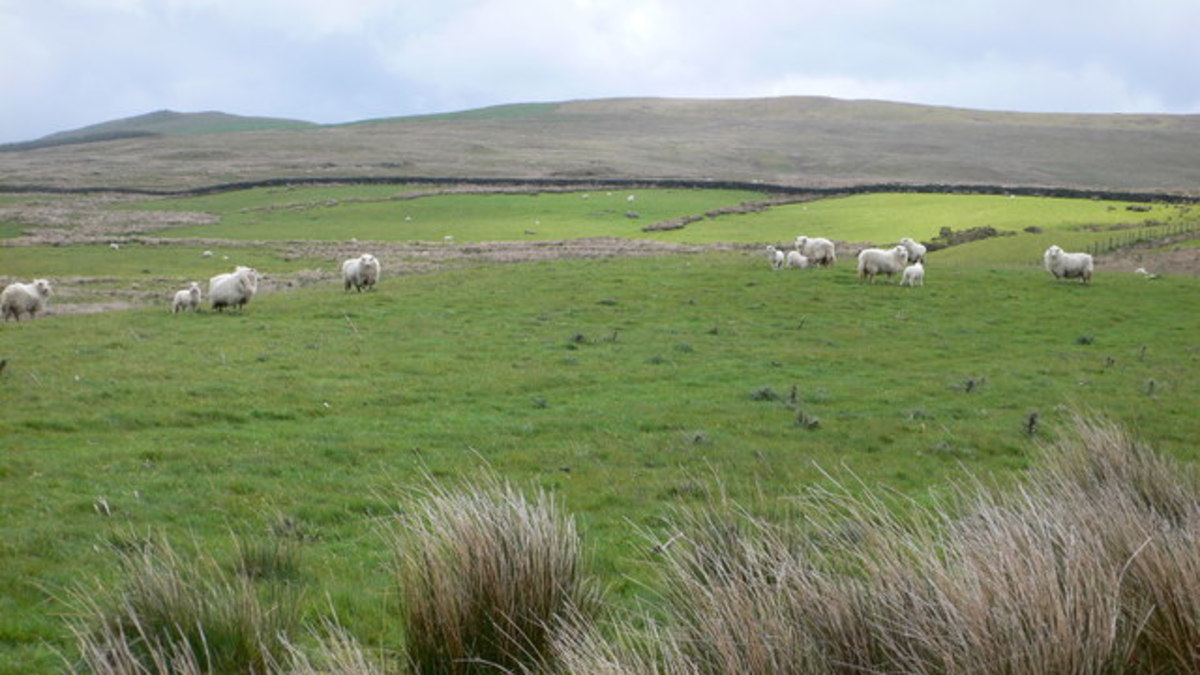 Welsh Farmers have herded Sheep for Millennia