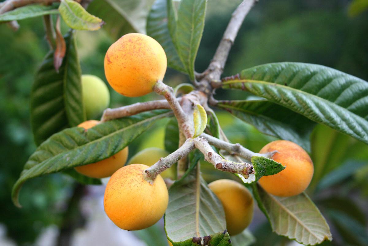 How to Grow Loquat Fruit Trees -  Eriobotrya Japonica