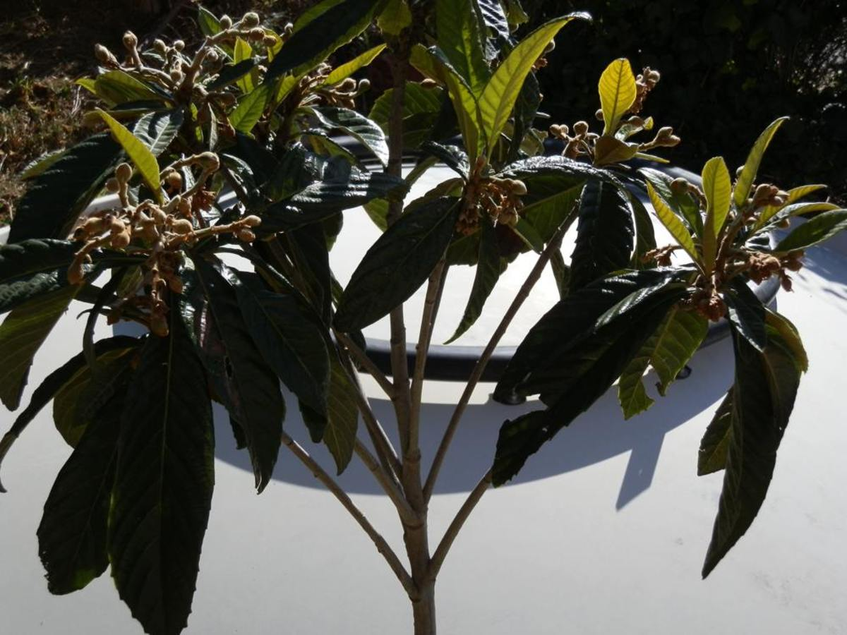 loquat tree with ripening fruit