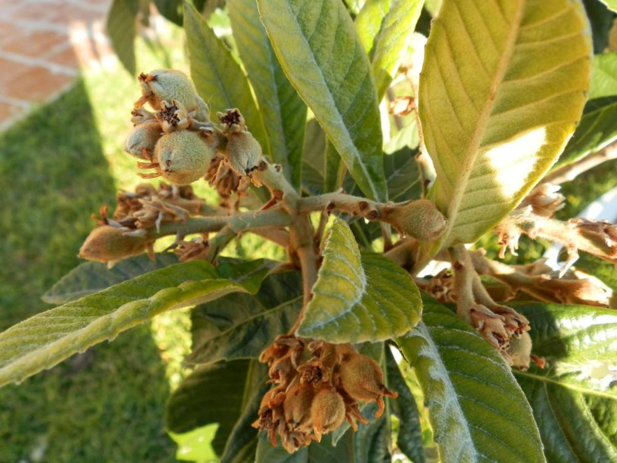 early development of loquat fruit. Photo taken in January.