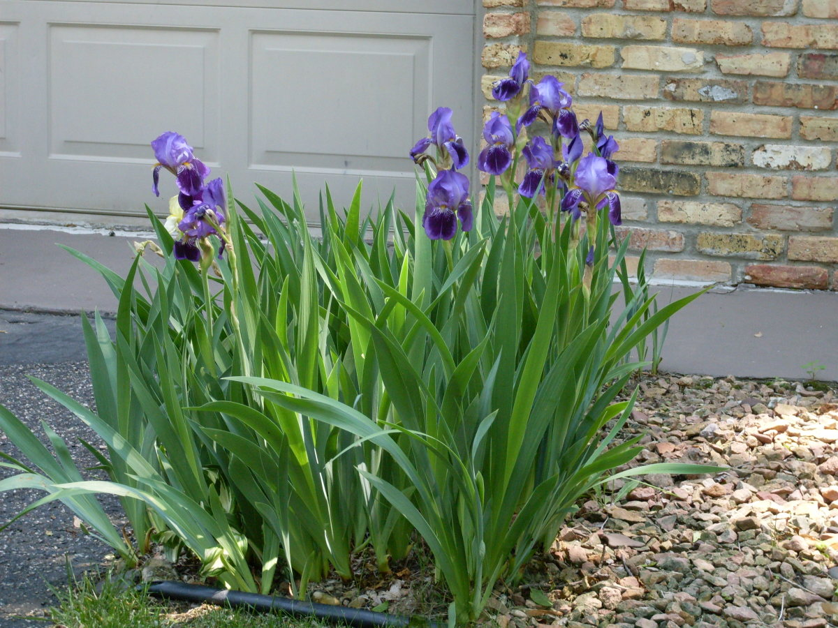 Irises in bloom
