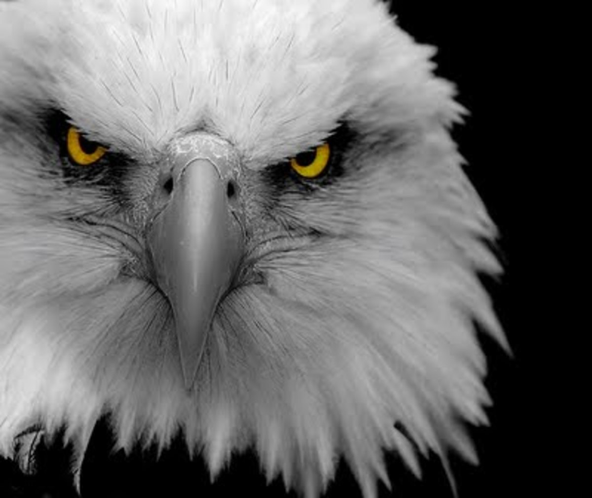 Save The Bald Eagle-The national animal of the U.S.A. is in trouble!