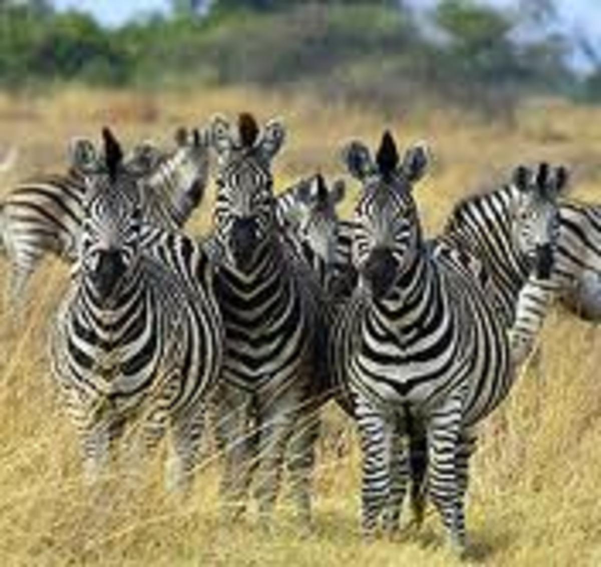 Zebra in Grass