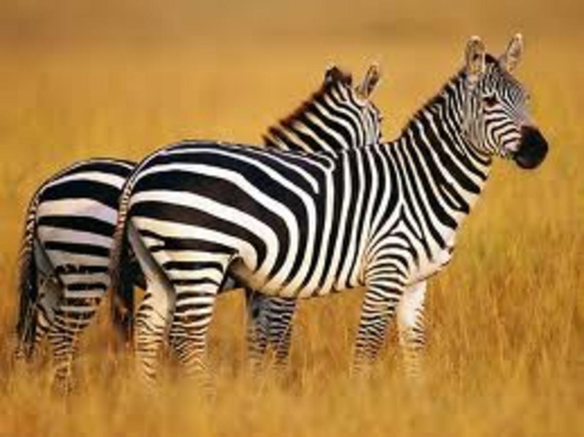 Two Zebra in Grass