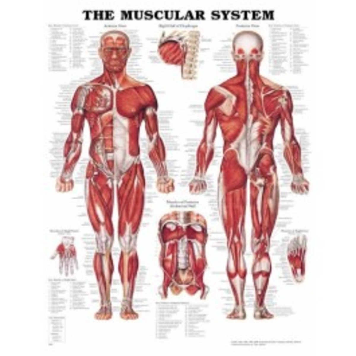 the-functions-of-muscles