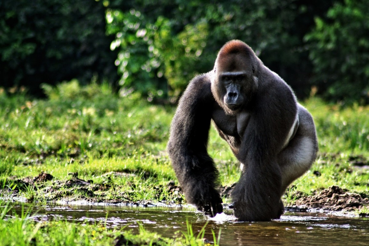 Are vegetarian's weaklings? Try taking on this gorilla and find out!