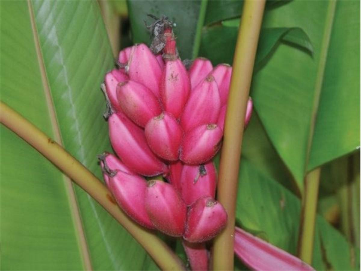 Kinds Of Bananas