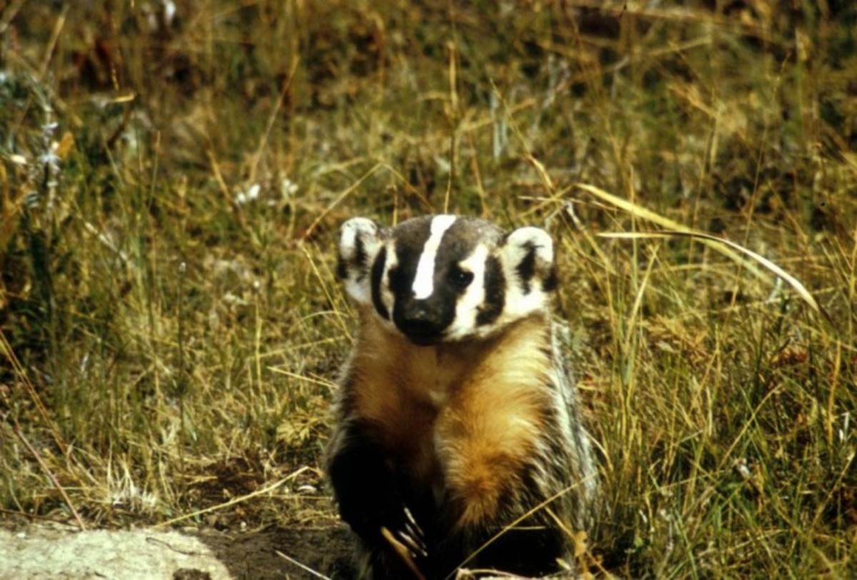 I couldn't find a rat easily, so here is a badger!